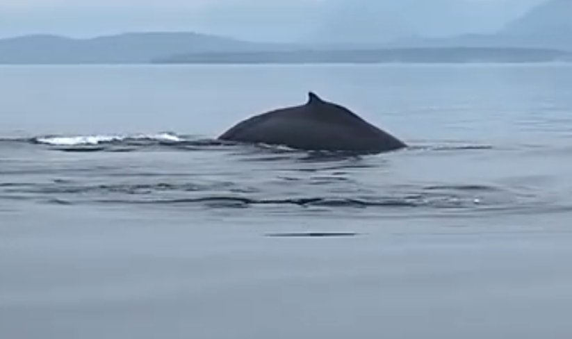 Comox Valley Humpback Whale